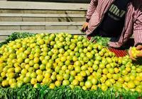 吐魯番的杏子下來了嗎?在烏魯木齊閒逛時買到了杏子