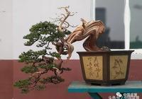 李國賓柏樹盆景新作欣賞