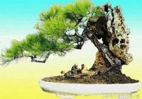 盆栽盆景——附石盆景的製作(附圖)