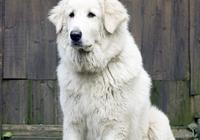 人人都愛大白熊犬,犬類高富帥,但有四條飼養規則,你必須瞭解