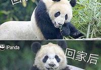 大熊貓本是中國國寶為何日本的熊貓很乾淨?求你查一下日本做了啥