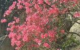 春天到來杜鵑花開