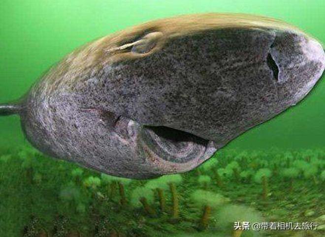 """能活500歲的鯊魚?盤點那些你不知道的""""冷知識"""""""