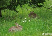 為什麼現在的農村地裡很難見到野兔子了?