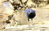 動物圖集:紫嘯鶇