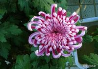 菊花該怎麼種?菊花的種植方法