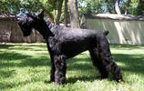寵物圖集:巨型雪納瑞