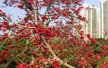 廣西北海木棉迎春
