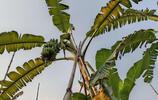 """蘋果蕉:被稱為香蕉中的""""愛馬仕""""!香甜軟糯不膩!吃了會上癮哦"""