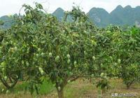 農民種芒果,芒果長勢好,卻產量低,如何管理芒果掛滿枝?