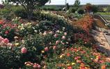 植物園內880個品種月季花競相綻放,遊客爆棚月季王國裡聞香賞花