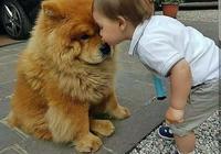 養一隻松獅犬怎麼樣?