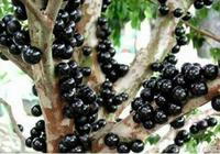 神奇的水果——長在樹幹上水果