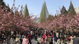 實拍櫻花樹下那些忙著拍照的遊人們,姿態萬千,風情萬種啊!