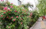 綠城鄭州多了一面鮮花牆!高新區丁香裡街薔薇花牆成自拍聖地