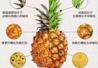 菠蘿鳳梨傻傻分不清楚?瞧下圖,漲知識了