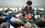 80後農村小夥不走尋常路,在農村養了1000多隻孔雀和上萬只山雞