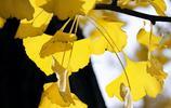 圖蟲風光攝影:清水河銀杏