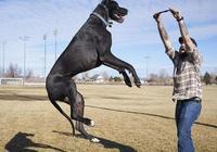 身高2米13的美國大丹犬,這龐然大物居然還會流淚