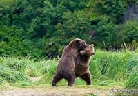 """它是熊科動物裡最古老的""""戰士"""",戰鬥力強悍,常被拿來與虎比較"""