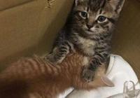 兩隻小奶貓被救後,弟弟把哥哥的肚子當奶吸,哥哥:媽媽你在哪啊