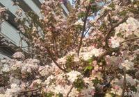 山東濱州:清明三天假 濱州處處有花香