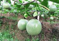 種植百香果,育苗要先行,合理有序的操作有利於培育健壯的種苗