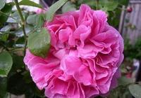 怎樣讓月季開出超大花朵?一個施肥小技巧,筍芽花苞蹭蹭冒