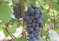 晁無疾:我國葡萄產業存在的問題與答案