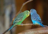 虎皮鸚鵡如何養殖 寵物鸚鵡飼養八大要點