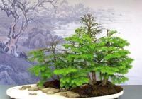 喜歡製作一盆馬尾松嗎?馬尾松盆栽的製作方法
