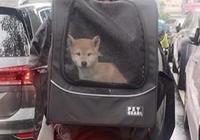 這是誰叫的柴犬外賣?柴犬被主人裝箱上路,一臉憂鬱卻極為可愛