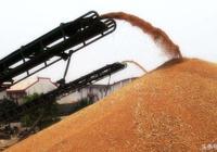 小麥價格開門紅 種小麥的今年都賺了 小麥收購價格重心上移