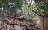 和國寶-大熊貓親密接觸,四川大熊貓繁殖研究基地一日遊