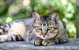 英國短毛貓和美國短毛貓,你分得清嗎?