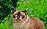寵物圖集:體型圓胖的英國短毛貓