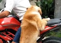 主人帶著狗狗出門,卻因為出行方式走紅,網友:這狗都快成精了!