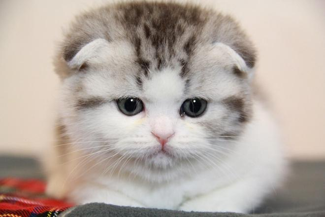 從漫畫中跑出的小精靈——折耳貓
