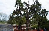 矗立千年的中國九大古樹,經歷了上千年的風吹雨打仍屹立不倒