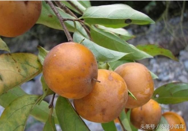 農村這幾種野生水果,見過3種算你厲害,最後一種非常少見