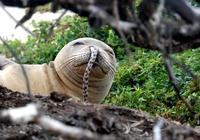 僧海豹鼻孔為什麼會鑽進鰻魚?這解釋專家自己也不敢肯定
