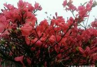 七絕·杜鵑花
