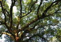 庭院栽樹的文化習俗淺談