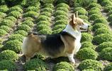 萌犬世界 肥嘟嘟的柯基犬