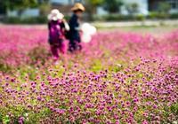 廣東花都有個山村盛開了大片紫色花海,美不勝收還免費!