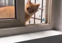 流浪貓從窗戶混進住戶家,被主人發現後,貓咪抓住窗戶死活不願走
