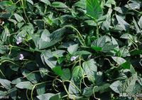 掌握好豇豆種植技術,豇豆既高產又安全