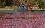 加拿大蔓越莓豐收,到處一片紅色海洋