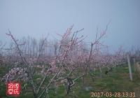 春色:黃邱桃花