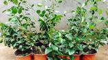 喜歡栽花的人看這裡,這些爬藤花卉適合懶人養,種一株可以爬滿牆